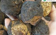 Củ Maca Peru đen - siêu thực phẩm của người dân Peru